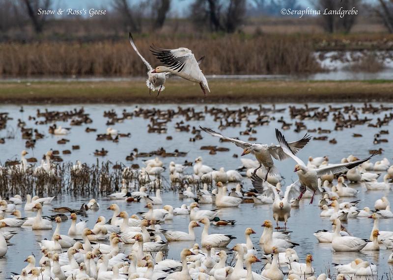 _DSC8887Snow Geese landing.jpg