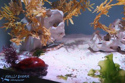Seadragons, Seahorses, Pipefish