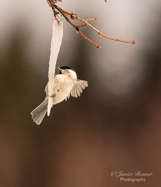 Japanese Tit on the Icicles