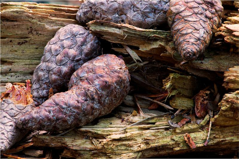 Pine cones_Nov 25-2012_01.jpg