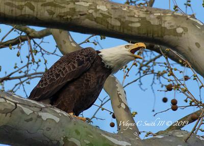 Cutaloosa Eagles NJ