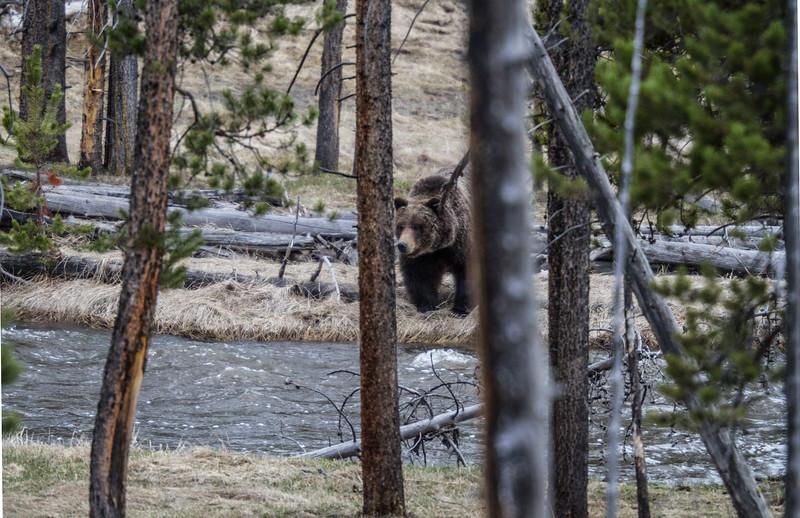 Grizzly bear boar male Yellowstone National Park WY IMG_0337.jpg