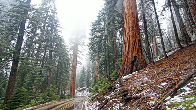 Spring Snow in the Sequoias