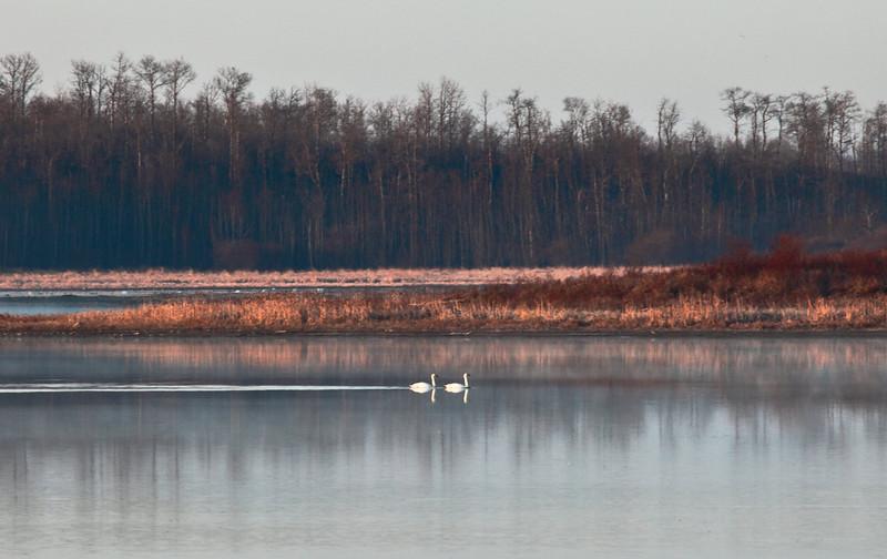 Trumpeter Swans on Astotin Lake