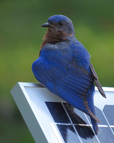 sx50_bluebird_ben_101.jpg