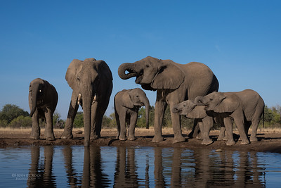African Elephant (Loxodonta africana) VU