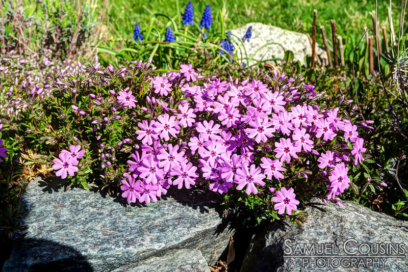Creeping phlox growing in someone's garden on Munjoy Hill.