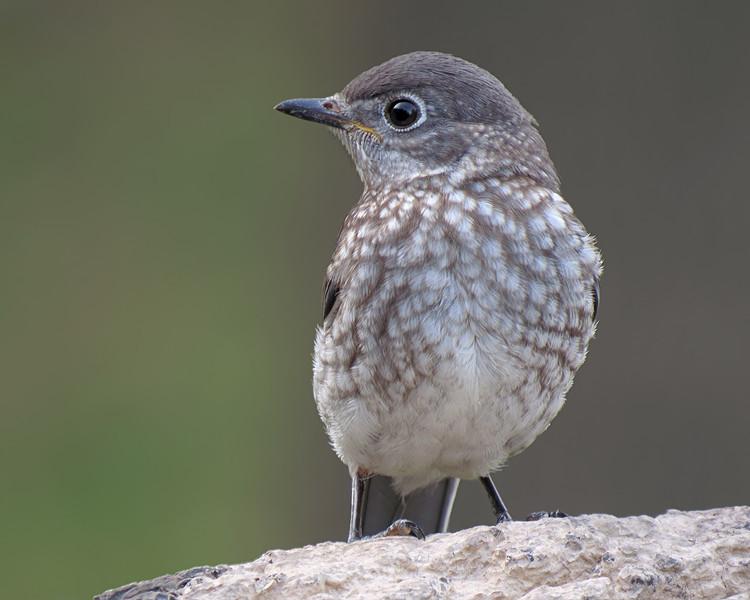 sx50_bluebird_fledgling_224.jpg