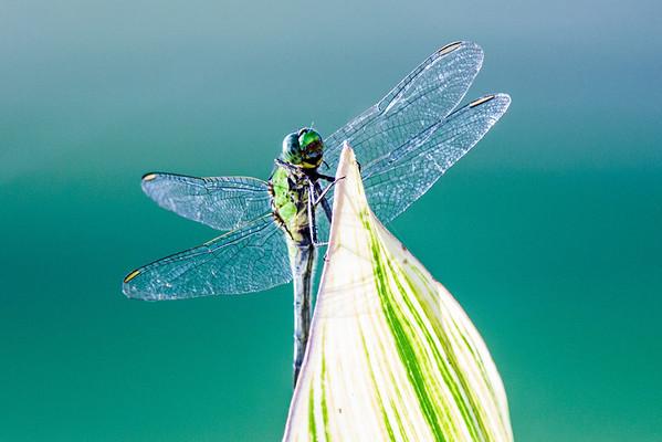 2013 - 06 - Dragonflies