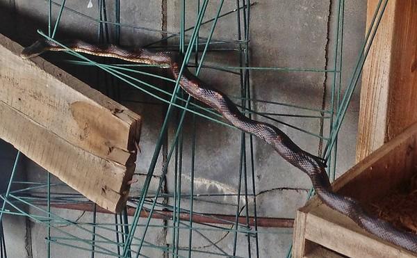 2014-04-19 Snake in Barn