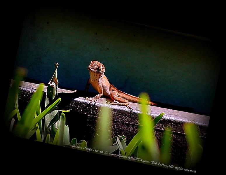 Brown Anole Lizard_IMG_7250__.JPG
