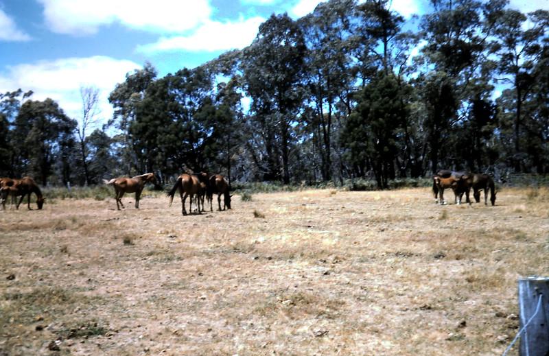 1962-1 (19) Horses @ Stradbroke.JPG
