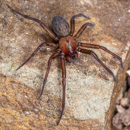 Megadictynid spiders (Megadictynidae)