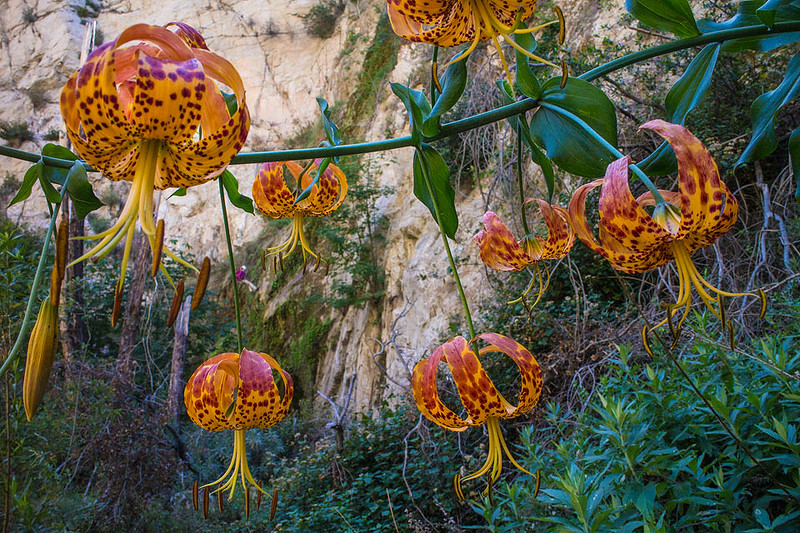 Big_Tujunga_Humboldt_Lilies_MG_4800.jpg