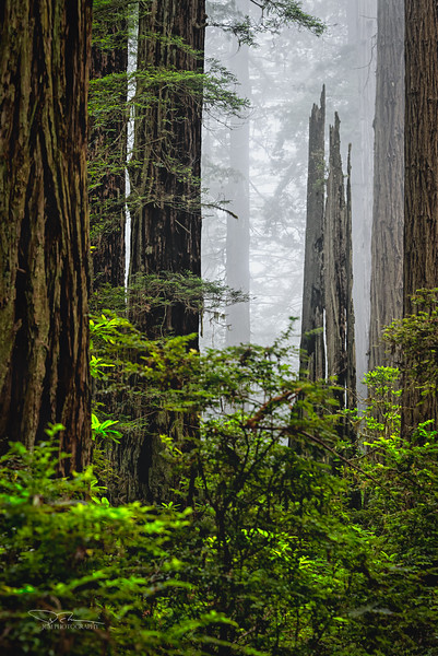 JM8_1510 Redwood forest LPN.jpg