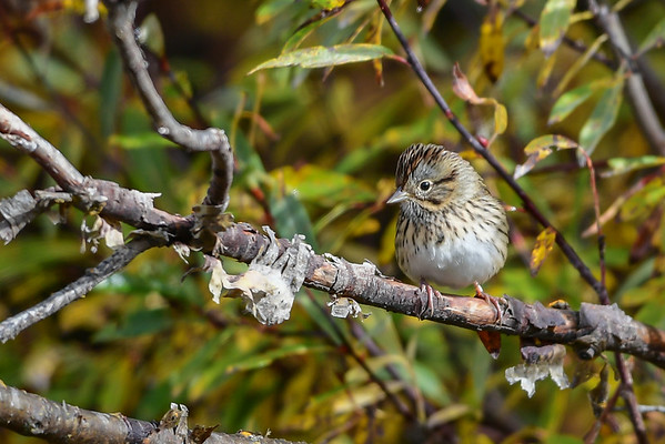 9-20-16 Lincoln's Sparrow