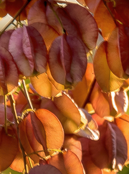 Sunset Seed Pods