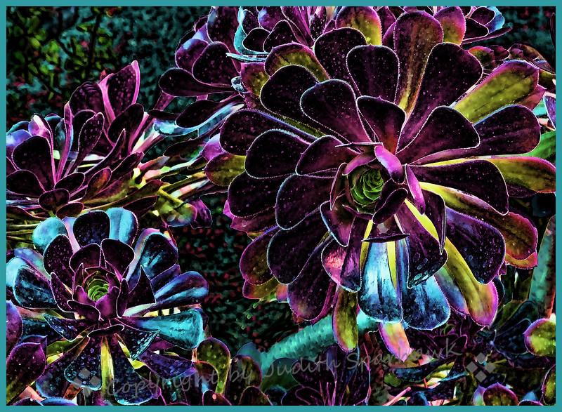 Succulent Rosettes - Judith Sparhawk