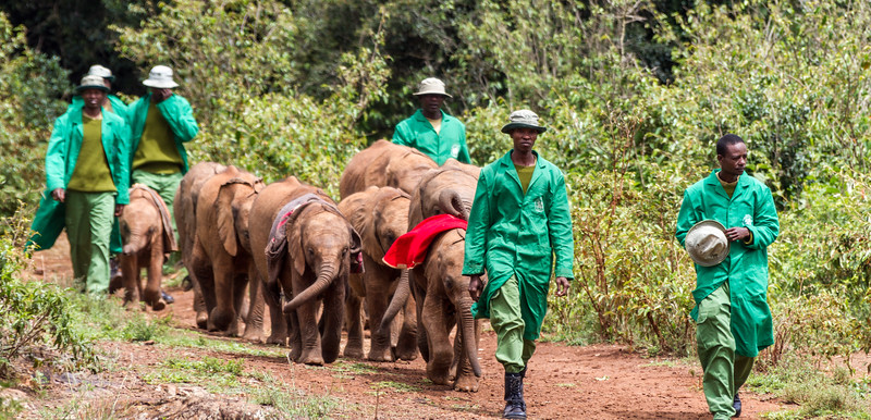 Baby elephants being led by their keepers - East Africa - Kenya