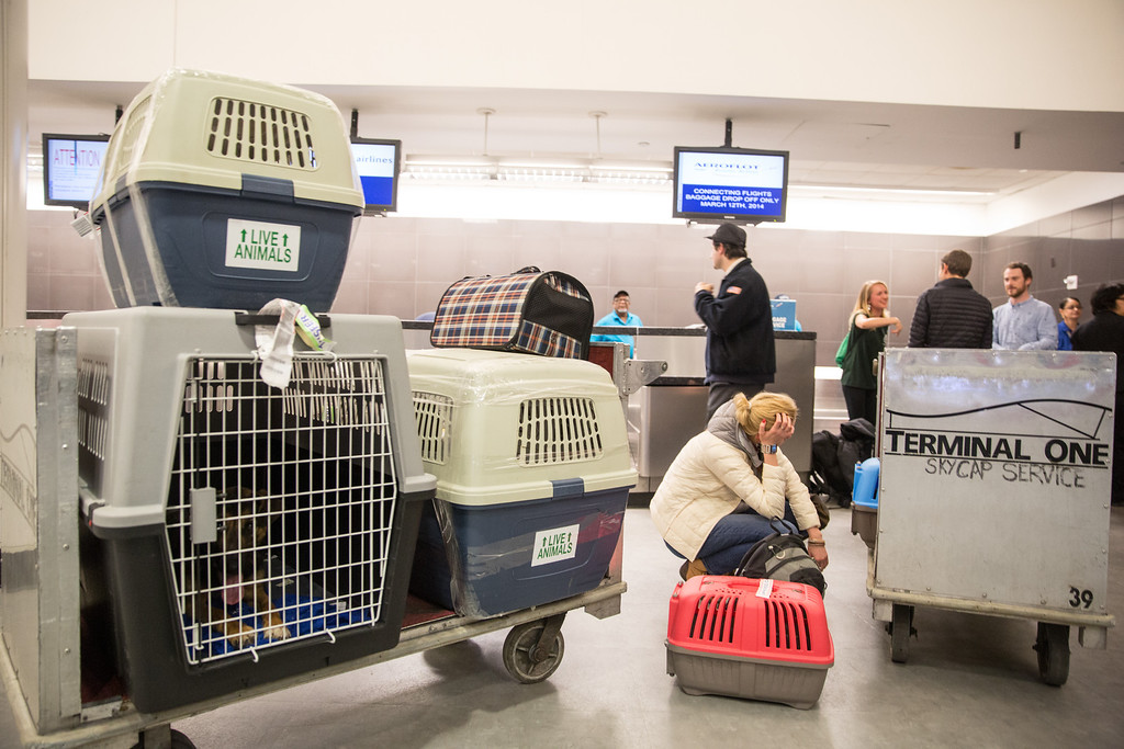 . In this image released on Friday, March 14, 2014, dealing with a few more formalities before the dogs can leave the airport in their newly adopted country. Humane Society International (HSI) has been working with Macdonald and Kenworthy for the past several weeks in trying to transport the dogs from Sochi, Russia, to the United States. (Christopher Lane/AP Images for Humane Society International)