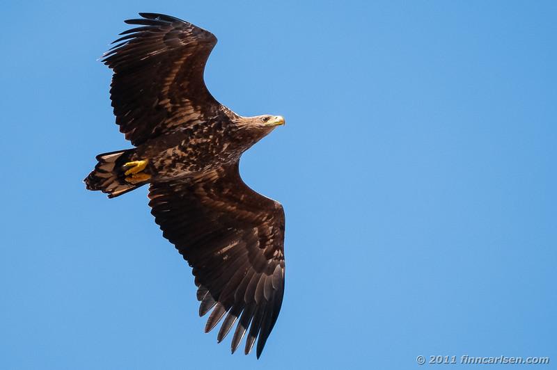 Havørn (Haliaeetus albicilla - White-tailed eagle