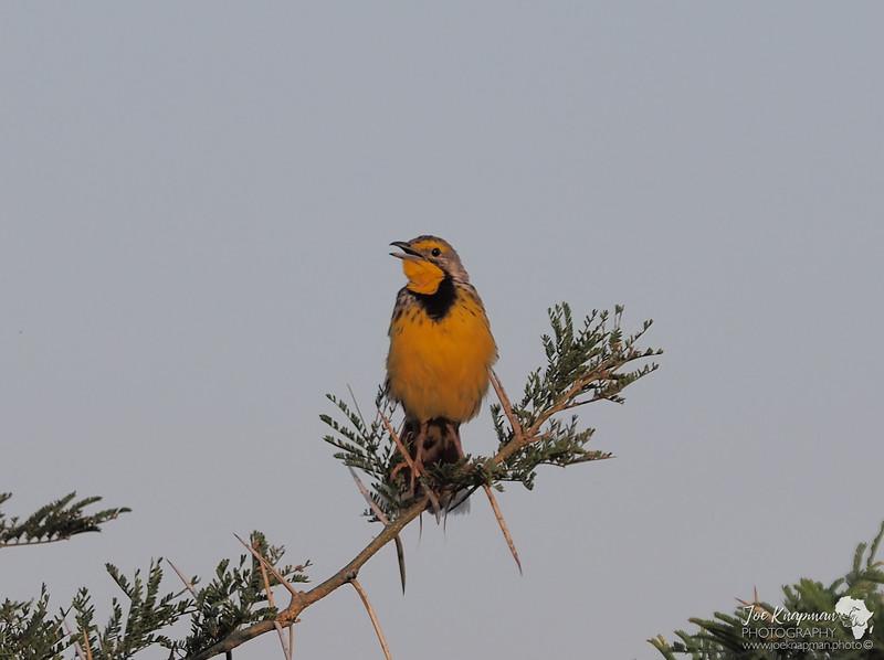 Yellow-Throated Longclaw