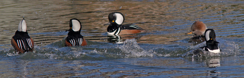 Mating Displays , Hooded Mergansers, Radio Road/Redwood Shores Channel