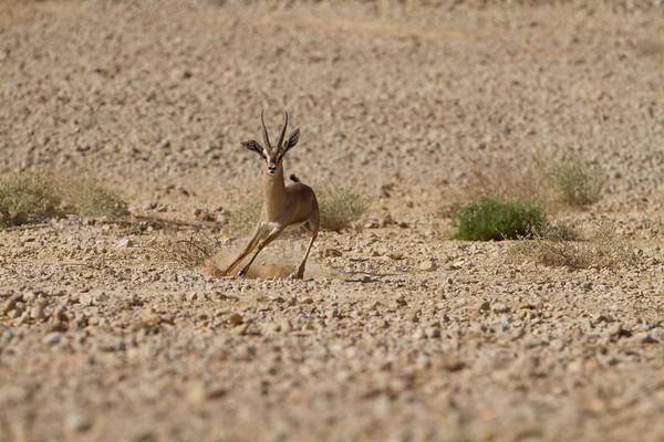 Acacia Gazelle -צבי השיטים