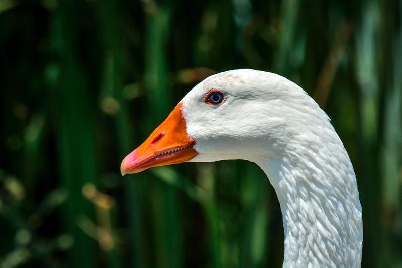 Common Goose