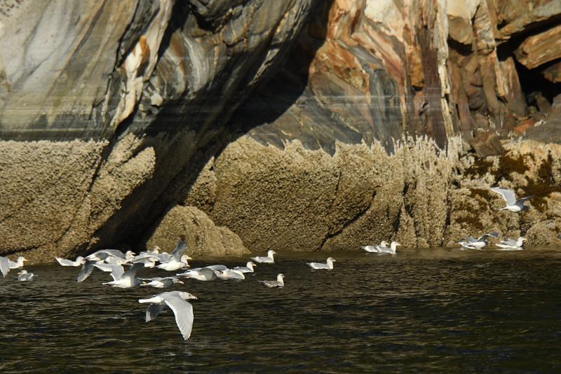 Gulls with Rocks III