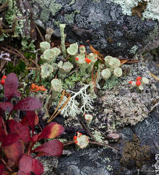 Reindeer lichen, Alpine bearberry, Cladonia cristatella