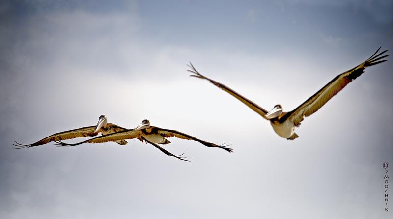 Pelicanbuddies.jpg