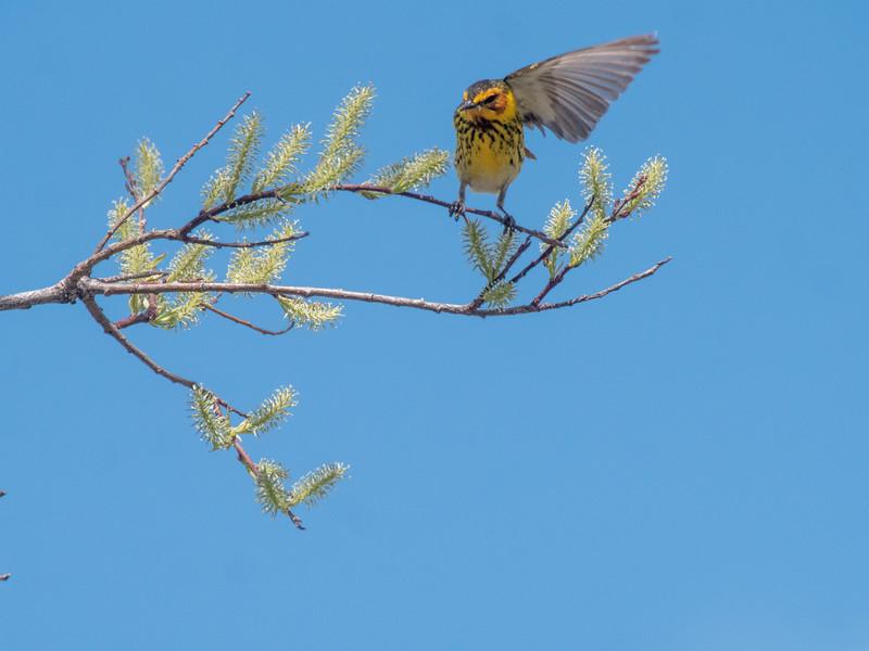 Cape May Warbler warbler wave Moose Lake Sewage Ponds road Carlton County MN  P1066746.jpg