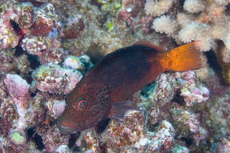 Black Sided Hawkfish var.jpg