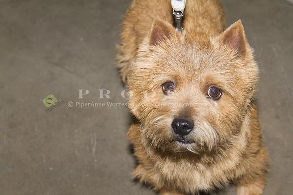 Norwich Terrier_PAW