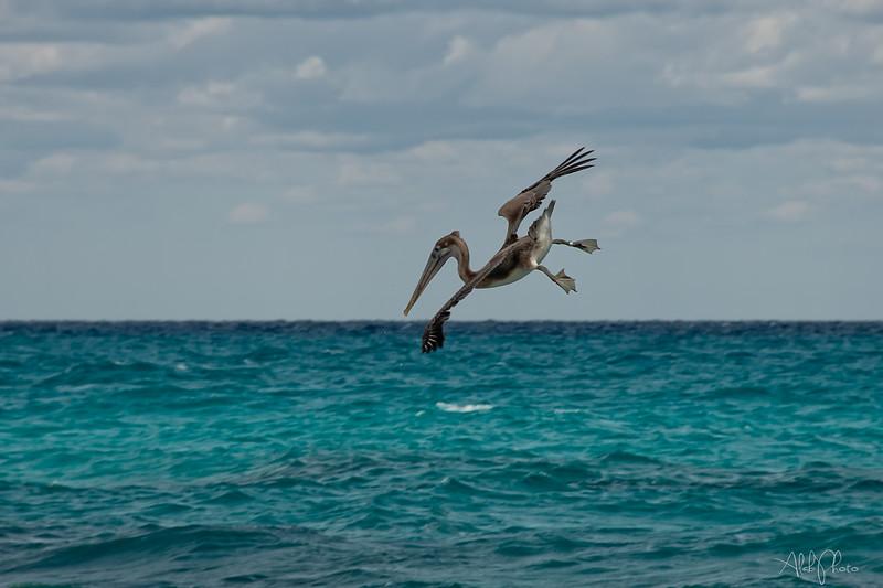 Pelican_13