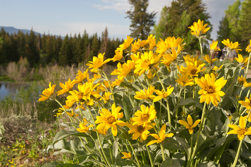 Balsamroot Flowers