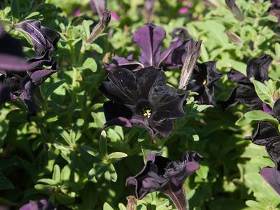 Petunia (veg-spreading) - Black Velvet