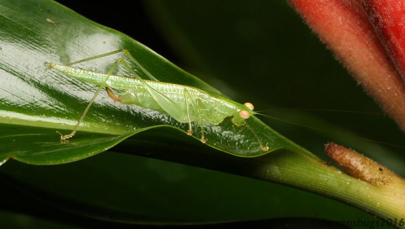 Spiny Predatory Katydid - family Tettigoniidae, subfamily Listroscelidinae, from Belize.