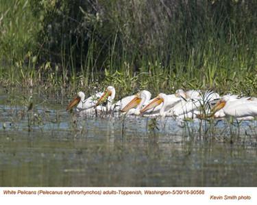 American White Pelicans A90568.jpg