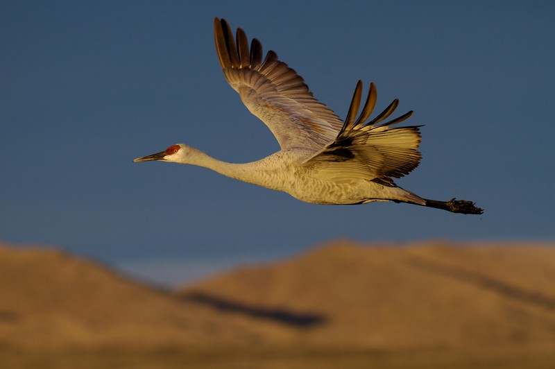 Thousands of Lesser Sandhill Cranes winter along the Rio Grande River wetlands. They feed in corn fields and marshes by day and roost in the pools at night [December; Bosque del Apache National Wildlife Refuge, San Antonio, New Mexico]