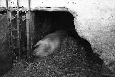 Pig Sticking (Beware, BLOODY!)
