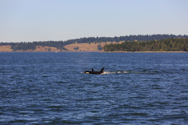 2013_06_04 Orcas Whale Watching 449.jpg