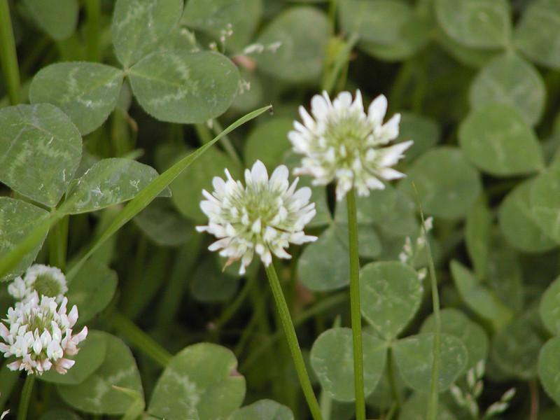 Trifolium repens - White Clover