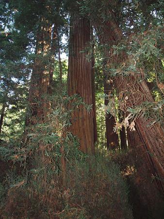 San Francisco Visit Day 4 Big Trees and Wine