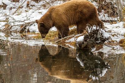 Sierra Bears