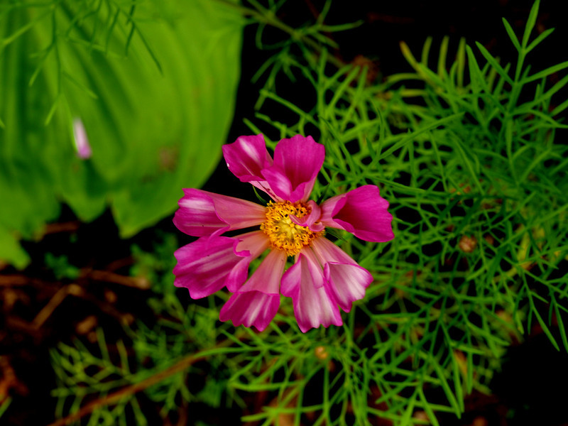 double bloom.jpg