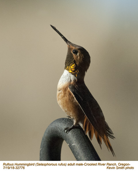 Rufous Hummingbird M32776.jpg