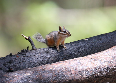 Cliff Chipmunk in the Chricahua Mountains of southeast Arizona