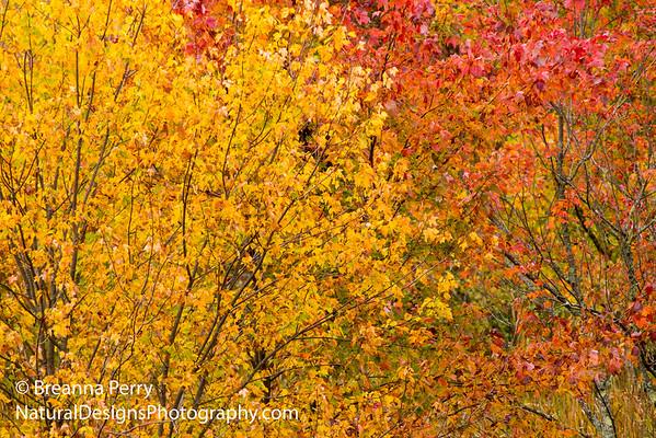 Fall Leaves Changing - Boston